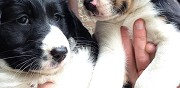 Chiots crois� border collie � r�server montsecret