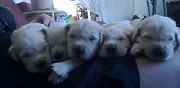 A r�server chiots golden retriever granville