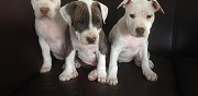 Chiots american staffordshire terrier lof saint cannat