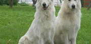 Vends chiots bergers blancs suisses lof soissons
