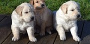 Adorable chiot m�le golden retriever 5 mois lof montauban