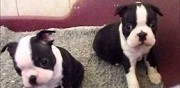 Chiots type boston terrier non lof la garenne colombes
