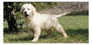 Chiots golden retriever � r�server ladern sur lauquet