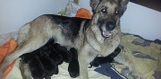 Chiots berger allemand � r�server roanne