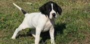 Vends chiots pointers lof paris