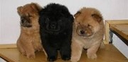 Superbes chiots type chow chow lof poil long seix