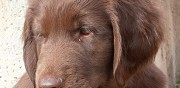 Vends chiots flat coated retriever lof larchant