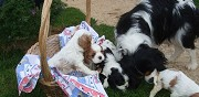Vends chiots cavalier king charles rethel