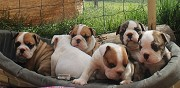 Vends chiots bulldog anglais saint ch�ly d'apcher