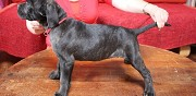 Donne chiots type cane corso angoulême