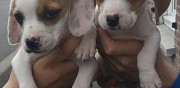 Vends chiot crois� beagle billy montigny