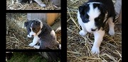 Vends chiots type border collie lanmeur