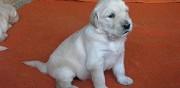 Vends chiots type golden retriever tourbes