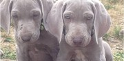 Chiots type braque de weimar � l'adoption flixecourt