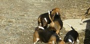 Vends chiots type beagle harrier avranches