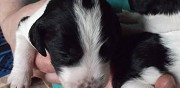 Vends chiots beagle crois�s border collie persac
