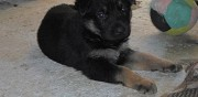 Chiots d'apparence berger allemand � r�server tarn