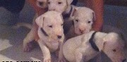 Chiots type dogue argentin � l'adoption pressigny les pins