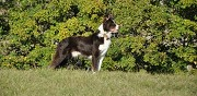 Chiots border collie lof origine travail en vente laye