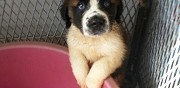 Chiot type saint bernard � l'adoption waziers
