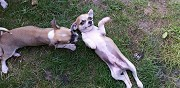 Chiot type chihuahua poils courts onesse et laharie