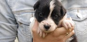 Chiots type border collie � vendre cabariot