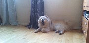 Chiots chow chow � r�server paris