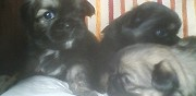 Vends chiots �pagneul tibetain mouzeuil saint martin