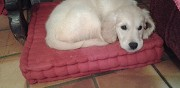 Vends chiot golden retriever senlis