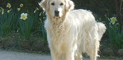 A r�server chiot golden retriever lof maisonnais