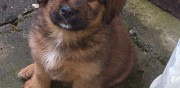 Vends chiots type briard jarny