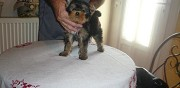 Donne adorable chiot yorkshire narbonne