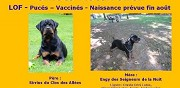 A r�server de suite chiots rottweiler lof cr�vecoeur le grand