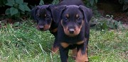 Chiots beaucerons lof � r�server valence