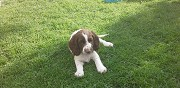Vends chiot english springer spaniel courpalay
