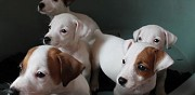 Vends chiots jack russell pollestres