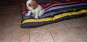 Vends chiots cavalier king charles fontenay saint p�re