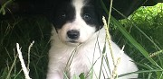 Donne chiots border collie saint gaudens