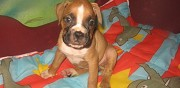 Vends chiots boxer lof reims