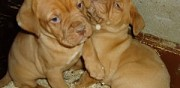 Chiots dogue de bordeaux � vendre tremblay les villages