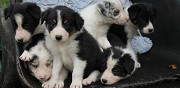 Donne chiots d'apparence border collie blanquefort