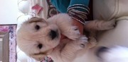 Chiots golden retriever � r�server tr�lou sur marne