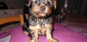 Chiots yorkire terrier � donner evron