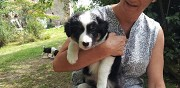 Chiots type border collie � donner asni�res