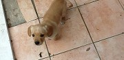 Donne chiots crois�s cavalier king charles s�malens