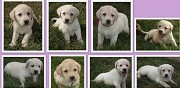 Vends chiots labrador retriever lof  saint rapha�l