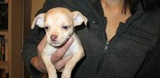 Donne chiots type chihuahua montrouge