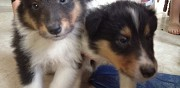 Vends chiots type colley contrisson