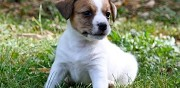 Vends joli chiot type jack russell lille