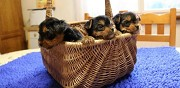 Vends superbes chiots type yorkshire terrier pure race nantes